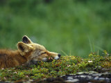 Red Fox Photographic Print by Chris Linder