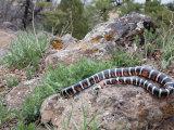 A Sonoran Mountain Kingsnake, Lampropeltis Pyromelana, Arizona, USA Photographic Print by Gerold & Cynthia Merker