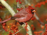 Male Northern Cardinal (Cardinalis Cardinalis) in a Hawthorn Tree (Crateagus), North America Reproduction photographique par Steve Maslowski
