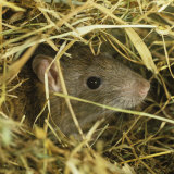 Brown Rat (Rattus Norvegicus) Head Poking Out from Hay Photographic Print by Nigel Cattlin