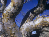 Elephant Tree Bark, Bursera Microphylla, Baja California, Mexico Photographic Print by David Cavagnaro