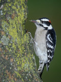 Downy Woodpecker (Picoides Pubescens), Eastern USA Photographic Print by Ray Coleman