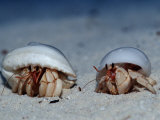 Hermit Crabs on a Sandy Beach (Coenobita), Maldives, Indian Ocean Photographic Print by Reinhard Dirscherl