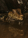 Dwarf Caiman, Paleosuchus Palpebrosus, South America Photographic Print by Jack Michanowski