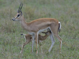 Grant&#39;s Gazelle Nursing its Young, Gazella Granti, East Africa Photographic Print by Arthur Morris