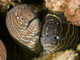 Zebra Moray Eels (Gymnomuraena Zebra), Hawaii, USA Photographie par David Fleetham