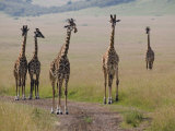 Masai Giraffes (Giraffa Camelopardalis Tippelskirchi) Masai Mara Game Reserve, Kenya Photographic Print by Adam Jones