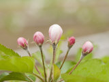 Apple Blossom Buds in the Spring Photographic Print