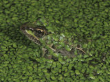 Rio Grande Leopard Frog (Rana Berlandieri) in a Duckweed Covered Pond, Lemna, Texas Photographic Print by Charles Melton