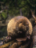 Beaver on Land Near a Pond (Castor Canadensis), North America Photographie par Ron Spomer