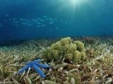 Blue Starfish (Linckia), Corals, and Sea Grass, Indonesia, Sulawesi, Indian Ocean Photographic Print by Reinhard Dirscherl