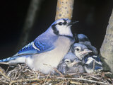 Blue Jay on its Nest with Young, Cyanocitta Cristata, North America Photographic Print by John & Barbara Gerlach