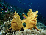 Giant Frogfishes on a Coral Reef (Antennarius Commersonii), Pacific Ocean, Panglao Island Photographic Print by Reinhard Dirscherl