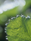 Close-Up of Guttation Droplets on a Strawberry Leaf, Frageria Lámina fotográfica por David Cavagnaro