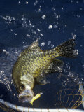 Black Crappie Netting Photographic Print by Wally Eberhart