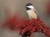 Carolina Chickadee (Poecile Carolinensis) on Sumac, Eastern North America Photographie par Steve Maslowski