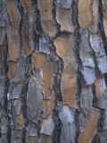 Bark of the Longleaf Pine, Pinus Palustris, Southeastern USA Photographic Print by Clint Farlinger