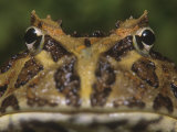 Argentine Horned Frog, Ceratophrys Cranwelli, South America Photographic Print by Joe McDonald