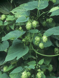 Hops, Humulus Lupulus, Cones Commonly Used in Brewing Beer Photographic Print by David Sieren