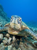 Green Sea Turtle Head (Chelonia Mydas), an Endangered Species, Hawaii, USA Photographic Print by David Fleetham