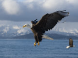 Mature Bald Eagles (Haliaeetus Leucocephalus) Fishing for Herring Fotografie-Druck von Tom Walker