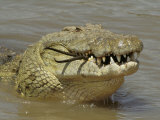 Nile Crocodile, Crocodylus Niloticus, Eating a Grant Gazelle, Masai Mara, Kenya, East Africa Photographic Print by Fritz Polking
