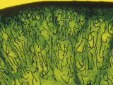Nostoc Cyanobacteria Filaments at the Edge of a Colony Photographic Print by John D. Cunningham