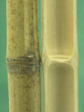 External and Internal Views of Bamboo Monocot Stems Photographic Print by Wally Eberhart