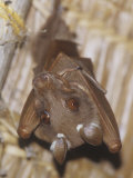 Dobson's Fruit Bat Hanging Upside Down, Epomops Dobsoni, Kenya, Africa Photographic Print by Joe McDonald