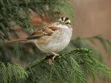 White-Throated Sparrow, Zonotrichia Albicollis, North America Photographie par John Cornell