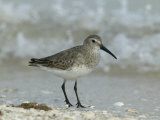 Dunlin in Winter Plumage, Calidris Alpina, North America Photographic Print by Arthur Morris
