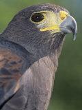 Harris Hawk Head, Parabuteo Unicinctus, Southwestern North America Photographie par Joe McDonald