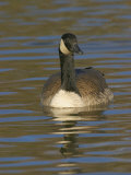 Canada Goose Swimming, Branta Canadensis, North America Photographic Print by Jack Michanowski