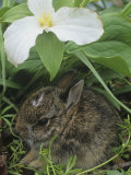 Baby Eastern Cottontail Hiding under a Trillium Flower, Silvilagus Floridanus, Ohio, USA Photographic Print by Gary Meszaros