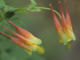 Red Columbine, Aquilegia Formosa, California, USA Photographic Print by Doug Sokell