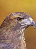 Red-Tailed Hawk, Buteo Jamaicensis, Head Showing its Eye and Bill, North America Photographic Print by Jack Michanowski