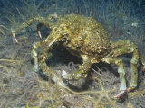 Sheep Crab (Loxorhynchus Grandis), Anacapa Island, California, Usa, Pacific Ocean Photographic Print by Richard Herrmann