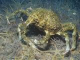 Sheep Crab (Loxorhynchus Grandis), Anacapa Island, California, Usa, Pacific Ocean Photographic Print by Richard Herrmann
