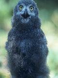 Snowy Owl Nestling or Owlet, Nyctea Scandiaca, Northwest Territories, Canada Photographic Print by Joe McDonald