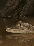Spectacled Caiman Head, Caiman Crocodilus Photographic Print by Jack Michanowski