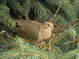 Mourning Dove, Zenaida Macroura, on its Nest in a Blue Spruce Tree, Picea Pungens, North America Photographic Print by Adam Jones
