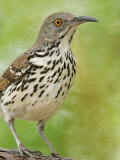 Long-Billed Thrasher, Toxostoma Longirostre, Texas, USA Photographie par Arthur Morris