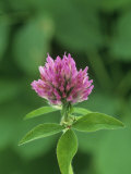 Red Clover Flower (Trifolium Pratense), North America Photographic Print by Wally Eberhart