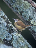 Carolina Wren (Thryothorus Ludovicianus). Eastern USA Photographic Print by Steve Maslowski