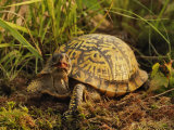 Eastern Box Turtle (Terrapene Carolina Carolina), Michigan, USA Photographic Print by Adam Jones