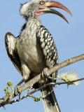 Red-Billed Hornbill, Tockus Erythrorhynchus, Chobe National Park, Botswana, Africa Photographic Print by Gerald & Buff Corsi