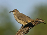 Curve-Billed Thrasher, Toxostoma Curvirostre, Southwestern North America Photographic Print by Arthur Morris