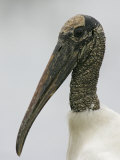 Wood Stork Head, Mycteria Americana, Florida, USA Photographic Print by Arthur Morris