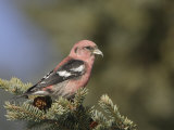 White-Winged Crossbill, Loxia Leucoptera Photographic Print by Garth McElroy