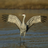 Sandhill Crane Courtship Display and Vocalization, Grus Canadensis, North America Reprodukcja zdjęcia autor Arthur Morris
